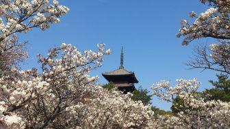 仁和寺の御室桜と五重塔