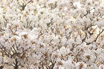 仁和寺の桜苑の御室桜