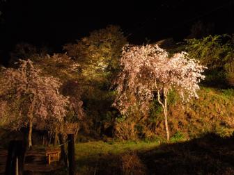 七曲がりの夜桜