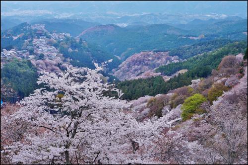 吉野山桜アイキャッチ