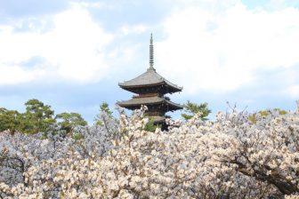 仁和寺の御室桜(御室有明)と五重塔
