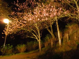 七曲がりの夜桜2