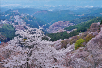 花矢倉展望台から見える千本桜