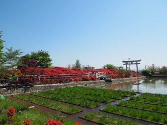 長岡天満宮のキリシマツツジ(南面)