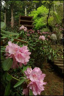 室生寺の石楠花(シャクナゲ)のアイキャッチ画像