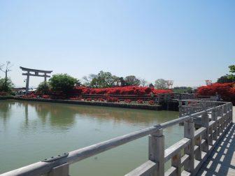 長岡天満宮のキリシマツツジ(北面)