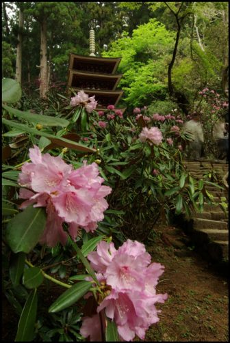 室生寺のシャクナゲ(石楠花)