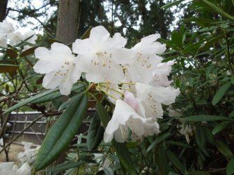 シャクナゲ(春日大社萬葉植物園)