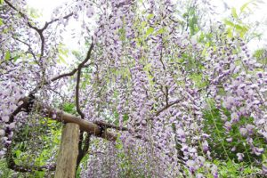 藤の花(春日大社萬葉植物園)アイキャッチ画像