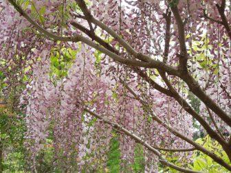 藤の花(春日大社萬葉植物園)