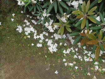 見ごろが終わりかけているシャクナゲ(春日大社萬葉植物園)