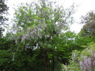 藤の木(春日大社萬葉植物園)