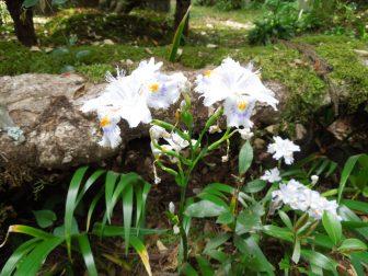 シャガの花(春日大社萬葉植物園)
