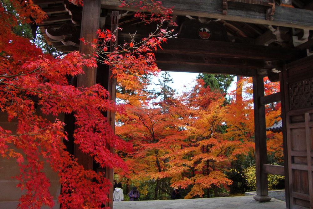 二尊院勅使門の紅葉