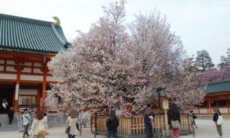 平安神宮の左近の桜