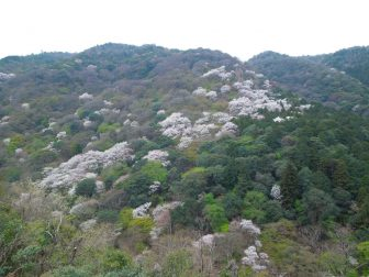 嵐山公園亀山地区展望台の桜