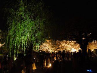 東寺のライトアップ(桜と五重塔と柳)