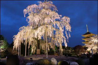 東寺の不二桜のライトアップ