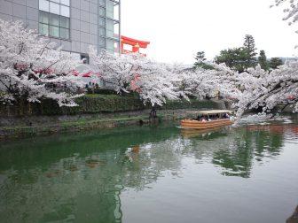 平安神宮の大鳥居の前の桜