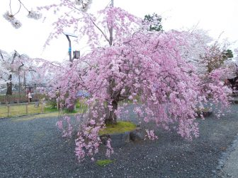 嵐山中之島公園の桜