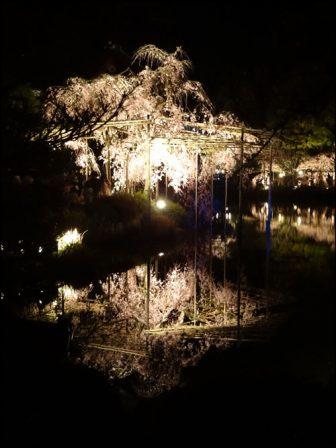 紅しだれコンサートの桜
