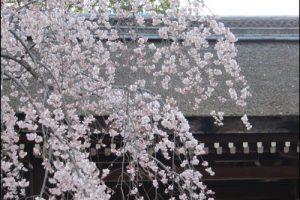 平野神社の桜のアイキャッチ画像