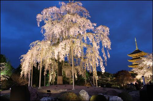 東寺の桜のアイキャッチ画像