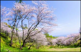 魚見岳の桜