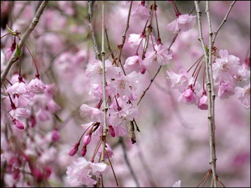二条城の桜アイキャッチ画像