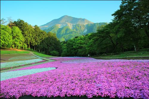 関東地方の芝桜(シバザクラ)アイキャッチ画像