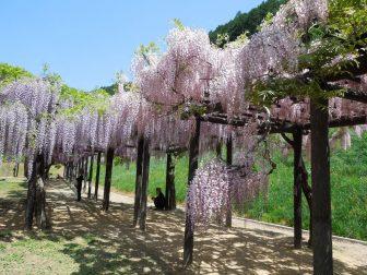 藤の花(白井大町藤公園)