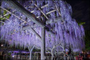 亀戸天神社の藤のライトアップのアイキャッチ画像