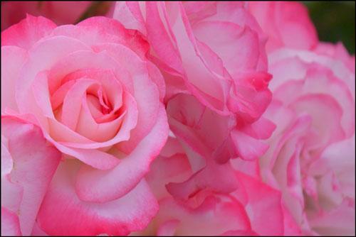 バラのアイキャッチ画像