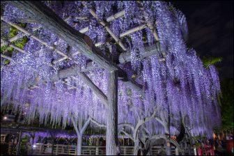 亀戸天神社の藤のライトアップ