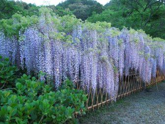 藤の花(白毫寺)