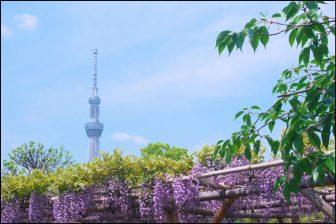 亀戸天神社の藤と東京スカイツリー
