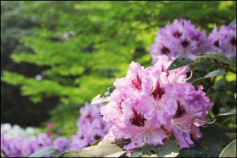 三室戸寺の石楠花(シャクナゲ)