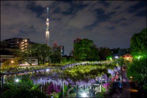亀戸天神社の藤のアイキャッチ画像