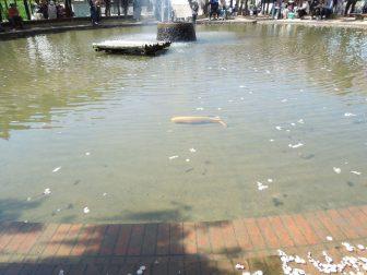 噴水の池の鯉(白井大町藤公園)