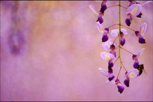 藤の花アイキャッチ画像