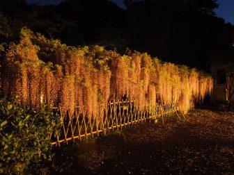 藤のライトアップ(白毫寺)