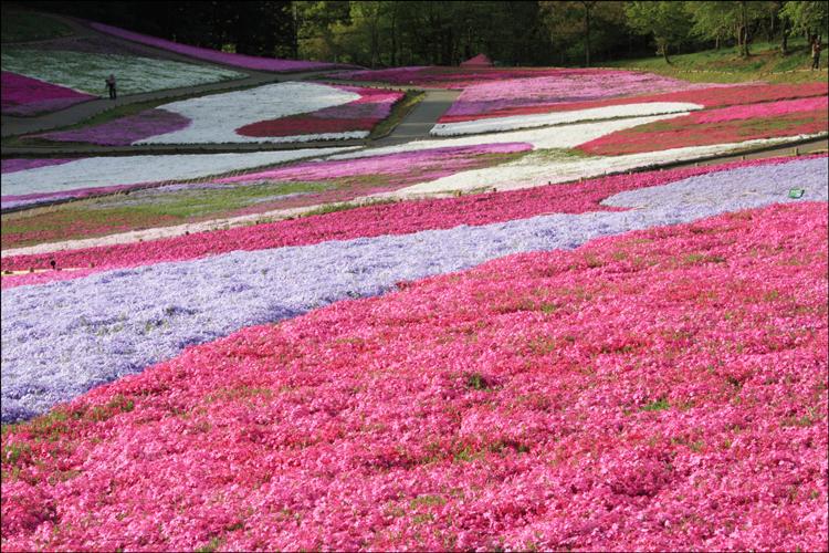 羊山公園芝桜の丘2020の開花状況や見頃時期!アクセス情報も