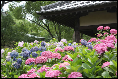 あじさい(藤森神社)アイキャッチ画像