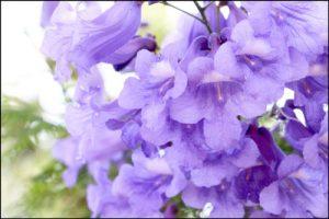 ジャカランダの花のアイキャッチ画像