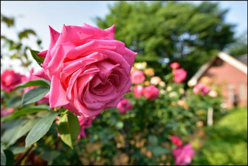 与野公園のバラのアイキャッチ画像
