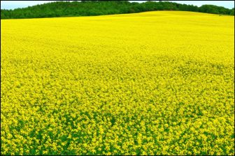 菜の花畑(安平町)