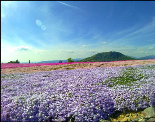 芝桜(茶臼山高原)アイキャッチ画像