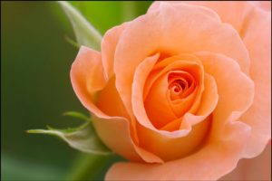 バラの花のアイキャッチ画像