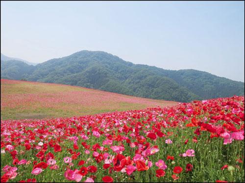 天空のポピー(秩父高原牧場)アイキャッチ画像