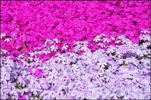 芝桜(シバザクラ)のアイキャッチ画像